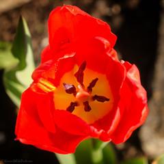 tulip 14/100x 2019 (sure2talk) Tags: tulip red stamens nikond7000 nikkor85mmf35gafsedvrmicro macro closeup 100xthe2019edition 100x2019 image14100 14100x2019