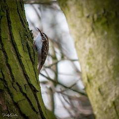 🇬🇧 Tree creeper (vickyouten) Tags: treecreeper nature naturephotography wildlife britishwildlife wildlifephotography nikon nikond7200 nikonphotography nikkor55300mm carrmilldam sthelens uk vickyouten