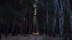 Evening in the forest. (ALEKSANDR RYBAK) Tags: изображения лес деревья дорога вечер солнечный свет лучи сосны берёзы природа пейзаж images forest trees road evening solar shine rays pine birch nature landscape ukraine