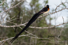 Long-tailed Paradise Whydah, Sweni Road, Kruger National Park, Jan 2019 (roelofvdb) Tags: 2019 862 date january knp longtailedparadisewhydah place satara southernafricanbirds whydah whydahlongtailedparadise year
