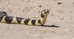 The predator (Photosuze) Tags: snakes reptiles animals nature wildlife kingsnakescalifornia king snake portrait predators lampropeltisgetulacaliforniae