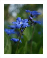 Little Blue III (Harald52) Tags: vergissmeinnicht blau blüte pflanze natur wiese frühling