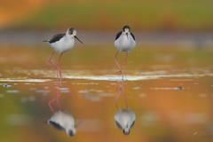 Cavalieri in avanzata (mauro.santucci) Tags: cavalieriditalia cavaliereditalia uccelli uccello bird avifauna natura birdwatching wildlife wild