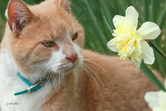 take time to sniff the flowers (Judecat (HOME AGAIN!)) Tags: cat feline nature flower daffodil catingarden redtabby leo
