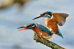 ijsvogel Common Kingfisher (Rob Keulemans) Tags: ijsvogel nederland wild copyright rob keulemans parend mating