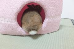 Ichigo san 1532 (Errai 21) Tags: いちごさん ichigo san  ichigo rabbit bunny cute netherlanddwarf pet うさぎ ウサギ いちご ネザーランドドワーフ ペット 小動物 1532