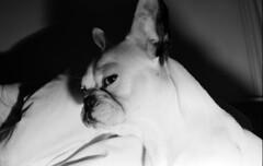 (Campurr!) Tags: 35mm ilford xp2 c41 praktica b200 50mm 28mm metz flash analogue analog films not dead glasgow frenchie frenchbulldog