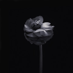 Ranunculus (Funchye) Tags: flower blomst nikon d750 105mm ranunculus monochrome