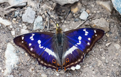 Apatura iris (Charaxes14) Tags: lepidoptera insect kelebek insecta arthropoda arthropod lighting shadow macro animal butterfly yellow nymphalidae nymphalid red bokeh beautiful wonderful amazing fresh beauty nature fantastic summer apatura iris purple emperor blue