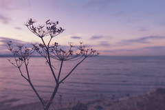 (CatMacBride) Tags: plant bare sea coast sunset dublin pink winter seed