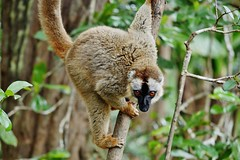 Common Brown Lemur Female (Eulemur fulvus) (Susan Roehl) Tags: madagascar2017 islandofmadagascar offtheeastcoastofafrica andasibemantadianationalpark commonbrownlemur eulemarfulvus primate animal mammal endangeredlist lemuridaefamily dietconsistsprimarilyoffruits youngleaves flowers invertebrates cicadas spiders millipedes bark sap soilandredclay varietyofforesttypes lowlandrainforests montanerainforests moistevergreenforests drydeciduousforests groupsof5to12 nodiscernibledominance activeduringday sueroehl photographictours naturalexposures panasonic lumixdmcgh4 100400mmlens handheld slightlycropped tree wood forest ngc coth coth5
