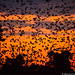 Bat Migration (Will Burrard-Lucas | Wildlife) Tags: