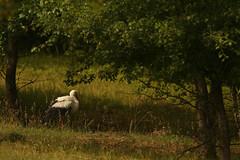White Stork (Derbyshire Harrier) Tags: narcissusforest ciconiaciconia whitestork romania 2018 june summer naturetrek transylvania
