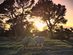 Horses (touffik68) Tags: horse camargue love sunset tree outside