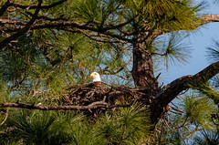 Sitting-Eagle (Les Greenwood Photography) Tags: eagle nest tree forest nature bird wildlife mother pine florida