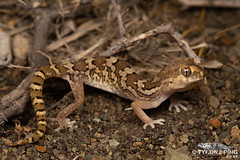 Common Banded Gecko - Pachydactylus _mariquensis_TyronePing 2018 (Tyrone Ping) Tags: maricos gecko pachydactylus mariquensis common banded nature 100mmmacrof28 f28 mt24ex karoo prince albert tyroneping wwwtyronepingcoza westerncape photography photo reptile reptiles south africa canon wildlife wild wildherps wildanimals wilderness beautiful cute close up detail 5dmiii