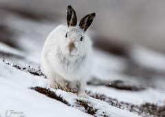 Mountain hare (Forgotten2000) Tags: fluffy wildlife winter nature ears mammal snow scotland mountainhares animal
