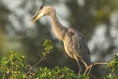 Can you hear me now (ChicagoBob46) Tags: greatblueheron heron bird veniceareaaudubonrookery rookery florida nature wildlife naturethroughthelens coth5 ngc npc