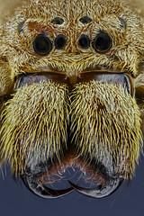 Heteropoda spec. flores, Sparassidae, Riesenkrabbenspinne / huntsman spider (tho.pieper) Tags: 215aufnahmenx002mm componon35mmf45 heteropodaspecflores ledringleuchte riesenkrabbenspinne sparassidae