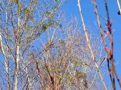 Trees. (dccradio) Tags: lumberton nc northcarolina robesoncounty outdoor outdoors outside february winter afternoon saturday saturdayafternoon goodafternoon nikon coolpix l340 bridgecamera nature natural tree trees branch branches treebranch treebranches treelimb treelimbs sky bluesky