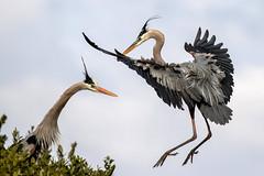 Pair of Great Blue Herons (dbadair) Tags: outdoor nature wildlife 7dm2 ef100400mm canon florida bird rookery mangroves