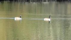 DSCN8323 oiseau aquatique 11 (lac oie bernache du Canada nage groupe) Montesson (jeanchristophelenglet) Tags: montessonfranceparcdépartementaldelaboucledemontessonétangdel'epinoche laceau lakewater lagoagua oiebernacheducanada canadagoose gansocanadense