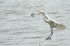 Great White Egret-7D2_2344-001 (cherrytree54) Tags: amazon manaus january lake parque ecologico janauari canon sigma 7d 150600