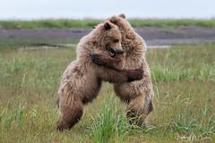 _HB30182 (Hilary Bralove) Tags: lakeclarknationalparkbrownbearsbearsalaskanikonwildlifegrizzlygrizzlybearbrownbearanimalswildlifephotographer alaksa brownbears grizzlybears bear bears grizzly brownbeargrizzly bearlake clarkwildlifealaska wildlifenikonlake clark national park