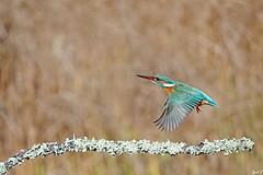 Martin-pêcheur en vol (Cyril Godissart) Tags: martinpêcheur vol oiseau bird nature arbre ngc