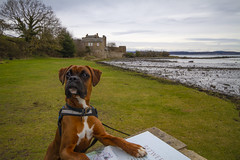 """don't be stupid we are right here, look"", Archie, the boxer dog visits Blackness castle, Blackness, West Lothian, Scotland (grumpybaldprof) Tags: scotland ""blacknesscastle blackness ""nearbo'ness"" ""westlothian"" ""firthofforth"" 1440 ""sirgeorgecrichton"" linlithgow castle harbour port monument fortress archie boxer puppy dog ""boxerpuppy"" ""boxerdog"" canine cute"