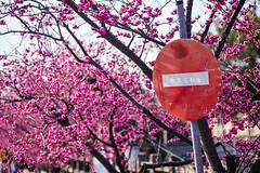 D68_4009 (brook1979) Tags: 台灣 台中 泰安 警察局 櫻花 春天 花季 粉 紫 taiwan taichung flower sakura 八重櫻