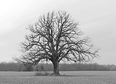 Best Viewed LARGE...Life Is Beautiful When You Open Your Eyes (Eat With Your Eyez) Tags: black and white bw blackandwhite tree standing alone field nature winter bleak beautiful branches branch farming crop panasonic fz1000