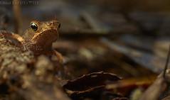 Juvenile marine toad (Rhinella marina) (pbertner) Tags: rainforest rainforestexpeditions southamerica peru perunature madrededios amazon tambopata tambopataresearchcentre trc leaflitter forestfloor juvenile