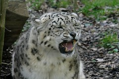 Snow leopard (CJT29(Sorry for my absence of late)) Tags: marwellzoo marwell hampshire bigcats cjt29 captive coldencommon carnivore mammal animal snowleopard pantherauncia