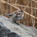 American Tree Sparrow thumbnail