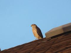 Sharp-shinned Hawk (D. S. Hałas) Tags: halas hałas canada ontario haltonregion haltoncounty oakville nipegontrail chordata sarcopterygii aves accipitriformes accipitridae accipiterstriatus hawk bird