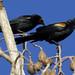 Tawny-shouldered Blackbird, Agelaius humeralis Ascanio_Cuba 1 199A3718