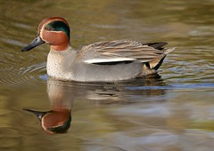 Teal (PhotoLoonie) Tags: teal duck water reflection bird attenboroughnaturereserve wildlife nature waterreflection waterbird