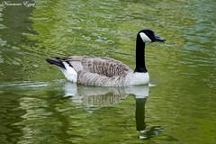 Bernache du Canada Branta canadensis - Canada Goose (Ezzo33) Tags: bernacheducanada brantacanadensis canadagoose france gironde nouvelleaquitaine bordeaux ezzo33 nammour ezzat sony rx10m3 parc jardin oiseau oiseaux bird birds