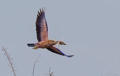 Purple Roller -1911 (Theo Locher) Tags: birds coraciasnaevius groottroupant oiseaux purpleroller vogels vögel zuidafrika southafrica krugernationalpark kruger copyrighttheolocher