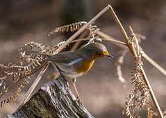 Robin (alderson.yvonne) Tags: song bird yvonne yvonnealderson gardenbird sweet spring uk wild