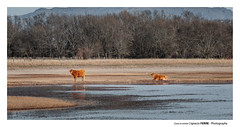 Cows in winter (Ignacio Ferre) Tags: embalsedesantillana madrid españa spain nikon vaca cow cattle winter invierno landscape paisaje nature naturaleza sotodelreal ngc