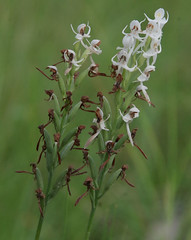 Habenaria propinquior, near Rollingstone, northwest of Townsville, QLD, 14/03/19 (Russell Cumming) Tags: plant habenaria habenariapropinquior orchidaceae rollingstone townsville queensland