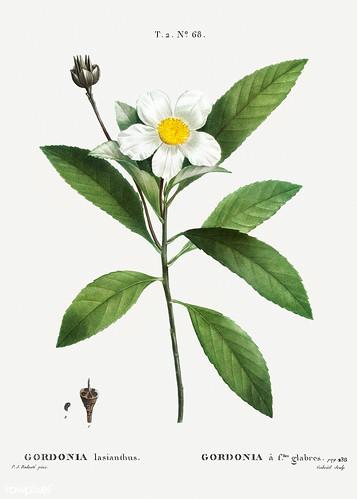 Loblolly-bay (Gordonia lasianthus) illustration from Traité des