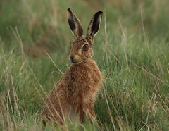 Hare alert 1S9A4658 (saundersfay) Tags: hare alert ears listening fur grass elmley hares pheasants littleowl kestrel