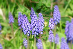 Grape Hyacinth (xbhbwify72) Tags: flower floral garden botany spring blue