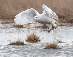 take-off from a walk in a giant puddle (marianna armata) Tags: snowy owl raptor white winter 2018 amherst ontario canada mariannaarmata bird cans2s
