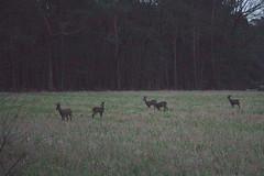 Deer 1 male 4 female (gipukan (rob gipman)) Tags: 177a0196 dark deer male female grass 5dmarkiv canon24105lis amersfoort soest