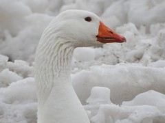 White Goose with Orange Beak (Anton Shomali - Thank you for over 2 million views) Tags: female 66 route swan bird goose white with orange beak picture taken kankakee river near wilmington illinois rover county nature water big eye nose mouth feathers city us usa nikon coolpix p900 large camera photo snow ice cold winter march weather season