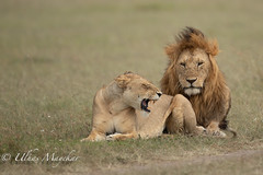 Mating pair of lions (mayekarulhas) Tags: kenya masaimara safari lion mating wildlife wild carnivores canon500mm canon canon1dxmark2